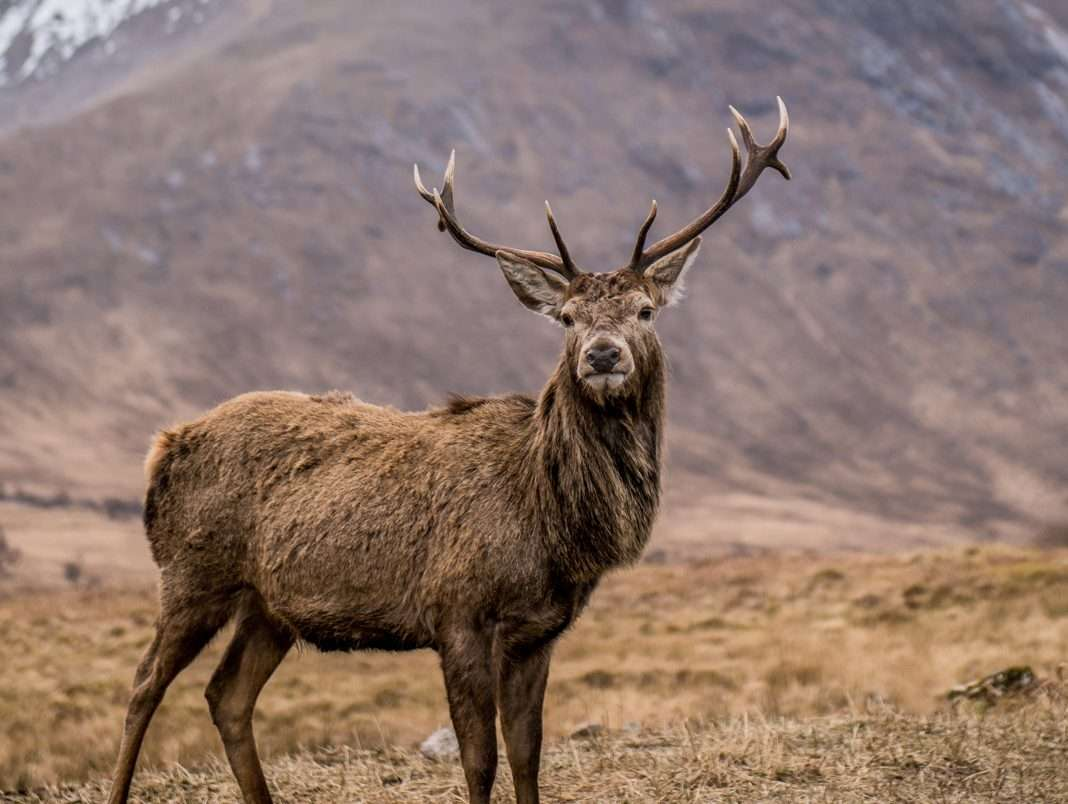 Stags in the glen at Glencoe Scotland