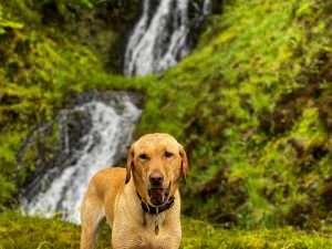 Rosie the dog enjoying dog walks at Woodlands Glencoe pet friendly lodges with hot tubs